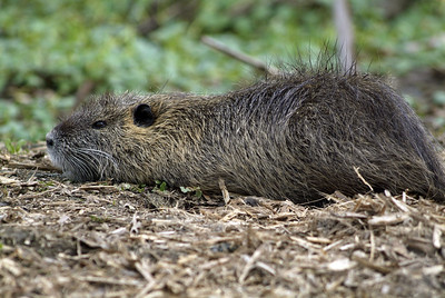 Nutria photographed in Brazos Bend State Park