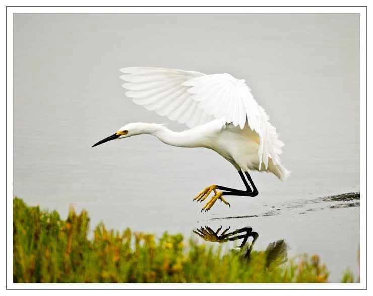 Snowy Egret Landing Near the Shore