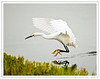 Snowy Egret Landing Near the Shore