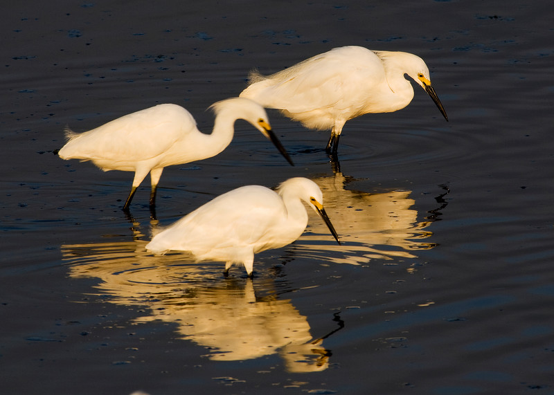 "Snowy Egrets ""scratching"" the bottom sediment as they hunt for food."