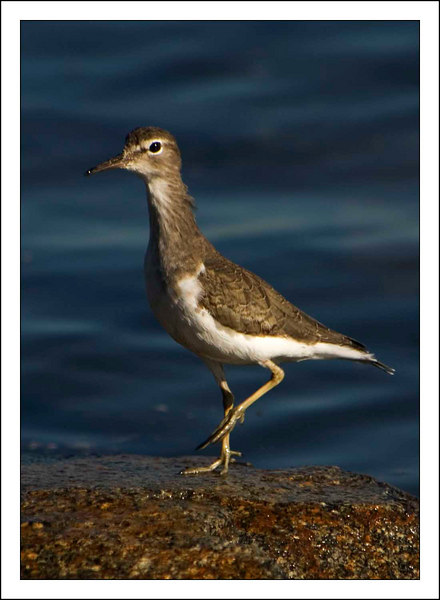 Wandering Tattler - Winter
