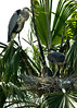 Great Blue Heron and two fledglings
