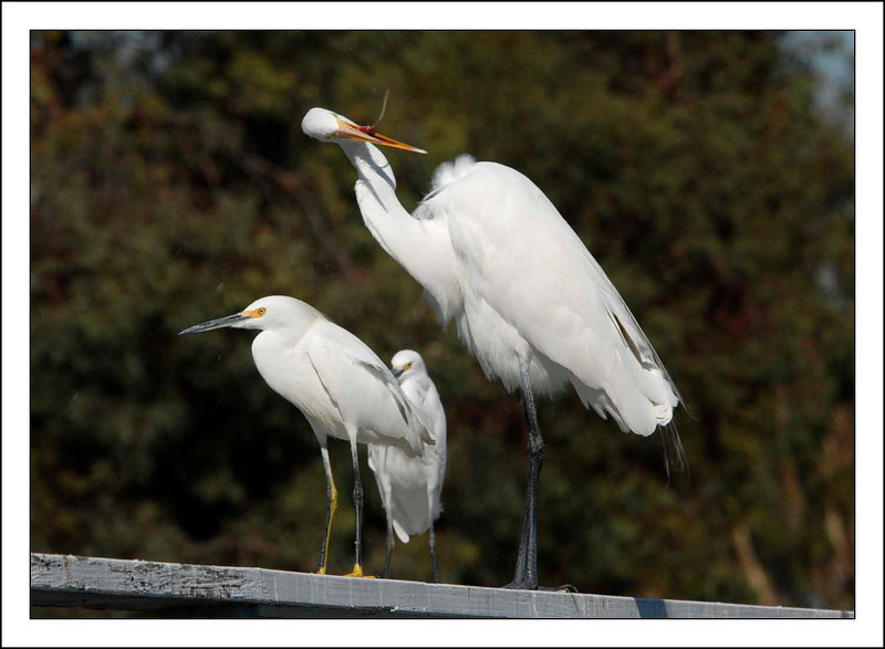 Snowy Egret (L), Great Egret (R)