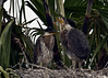 Great Blue Herons - Fledglings