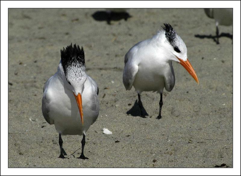 Royal Terns - Winter