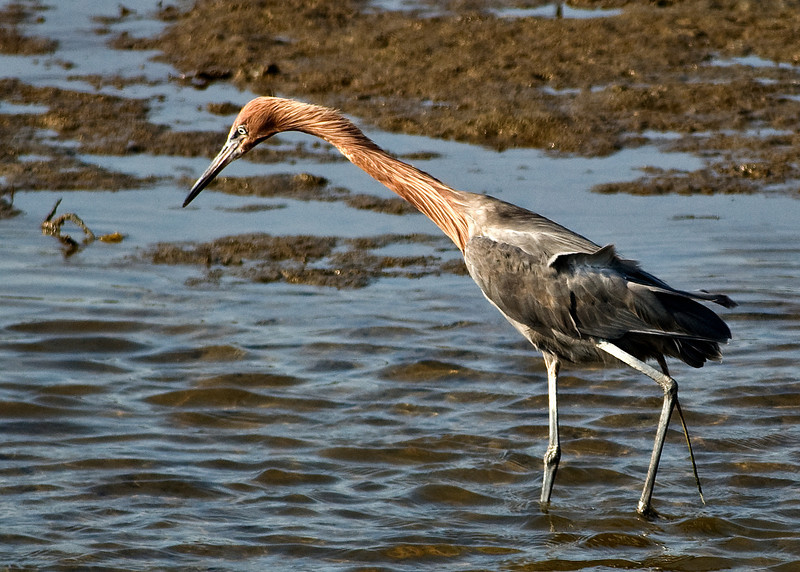 Reddish Egret - This bird is uncommon in the area. Its usual home range is the Pacific coast Baja California and the Sea of Cortez.