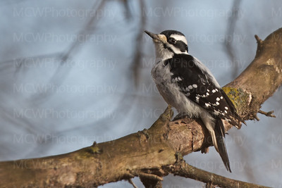 Downy Woodpecker, Female,