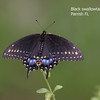 black swallowtail_Parrish-labelled