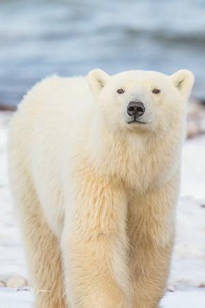 Polar_Bears_5D_MKII-1504