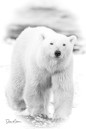 Polar_Bears_5D_MKII-1502