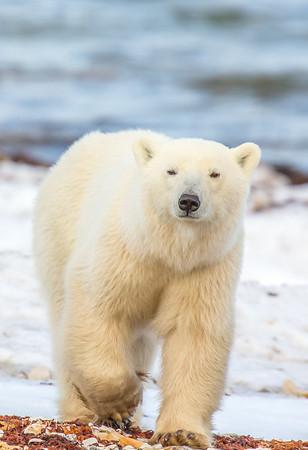 Polar_Bears_5D_MKII-1503