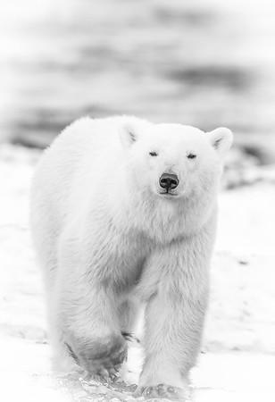 Polar_Bears_5D_MKII-1503-3