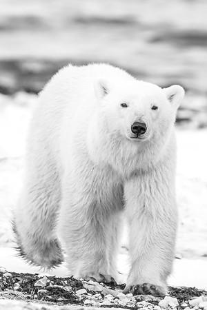 Polar_Bears_5D_MKII-1502-2