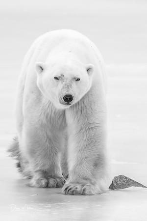 Polar_Bears_5D_MK_III_lastday-November 08, 20160078-3