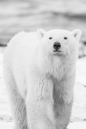 Polar_Bears_5D_MKII-1504-2