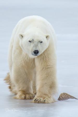 Polar_Bears_5D_MK_III_lastday-November 08, 20160078-2