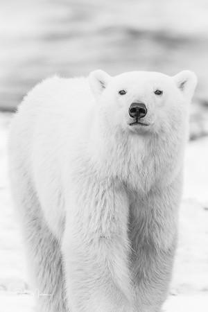 Polar_Bears_5D_MKII-1504-3