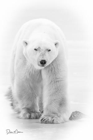 Polar_Bears_5D_MK_III_lastday-November 08, 20160078