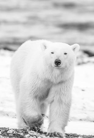 Polar_Bears_5D_MKII-1503-2