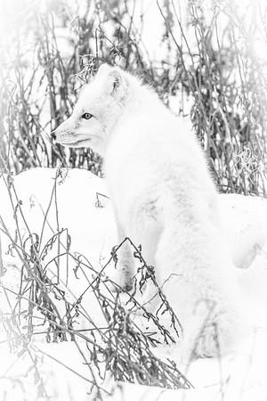 Polar_Bears_5D_MK_III_lastday-November 08, 20160281-3