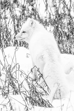 Polar_Bears_5D_MK_III_lastday-November 08, 20160281-2