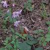 Naked-Flowered Tick-trefoil (Hylodesmum nudiflorum)