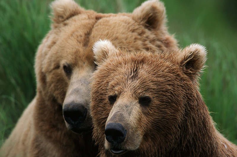 Courting Alaskan Brown Bears (Grizzly Bear)- McNeil River