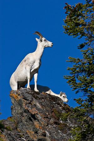 Rocky Mountain Bighorn Sheep (Ovis canadensis canadensis)