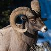 Bighorn Sheep ram - Lamar Valley YNP