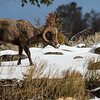 Big Horn Ram (Y.N.P.)