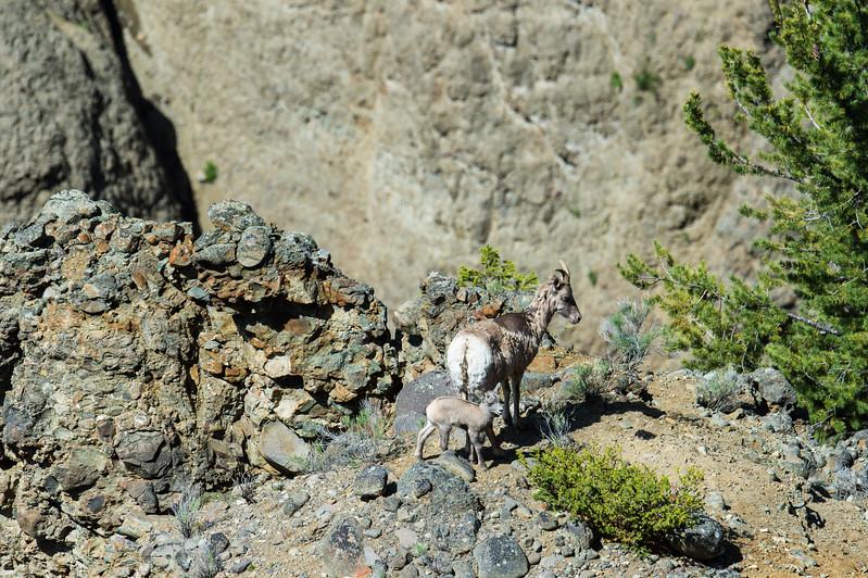 Bighorn Sheep ewe and lamb above Yellowstone River (YNP)