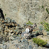 Bighorn Sheep ewe and lamb above Yellowstone River (YNP)