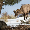 Rocky Mountain Bighorn Sheep (Y.N.P.)
