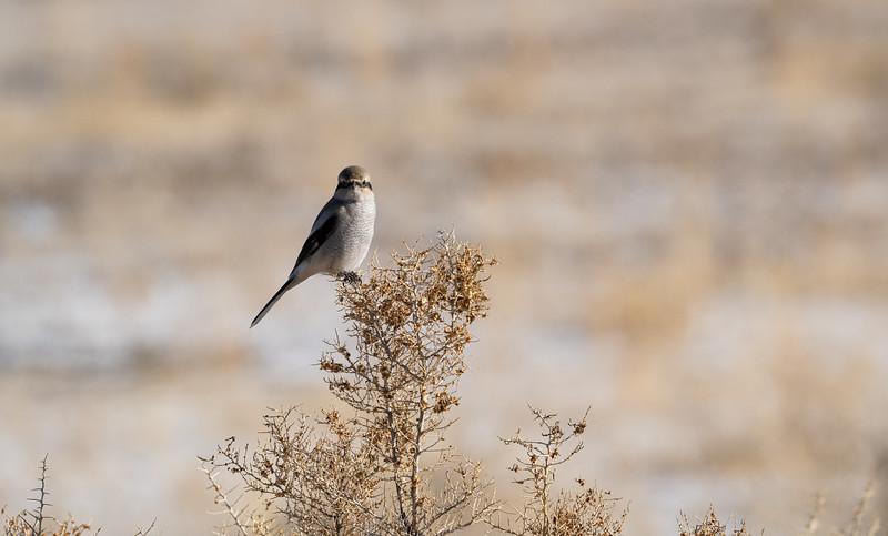 Northern Shrike (Lanius borealis)