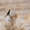 Northern Shrike (Lanius borealis) - immature