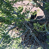 Dead Great Horned Owl in nest?