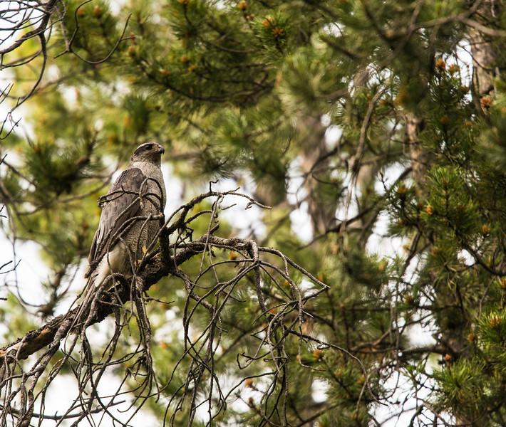 Adult Goshawk near Tetonia, ID