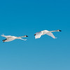 FP on feet of leading swan