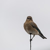Mountain Bluebird - Female
