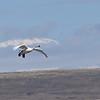 Tundra Swan - Camas NWR