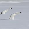 Trumpeter Swans landing at Silver Lake - Harriman State Park