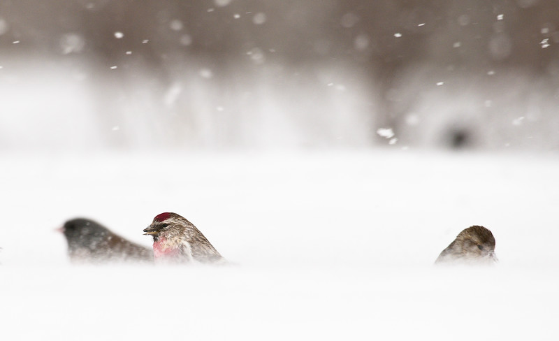 Common Redpoll In Snow Storm
