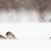 CM_REDPOLL_SAM1528 - Ground Blizzard