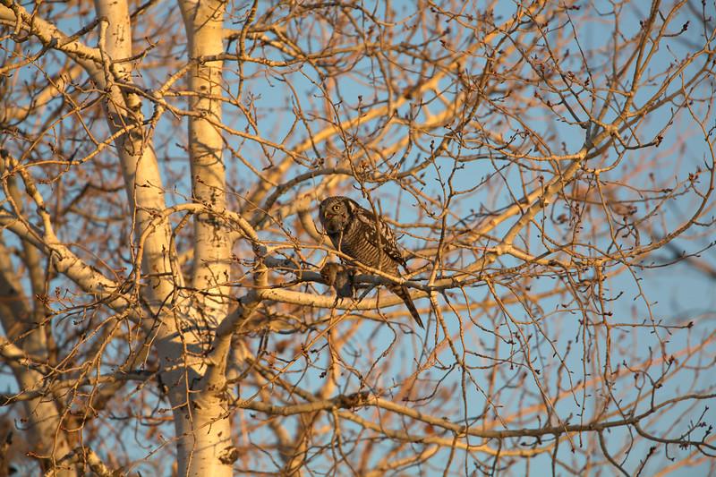 Northern Hawk Owl_2929