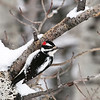 Hairy Woodpecker - Tetonia