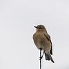 Female Mountain Bluebird on truck antenna