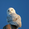 SN OWl _CROP_MG_3181