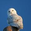 SN_OWL_MG_3181
