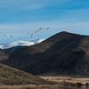 Tundra Swans over Lava Lake near Carey, ID