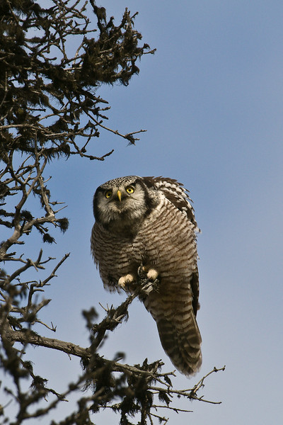 NO_HAW_OWL_DSC0081